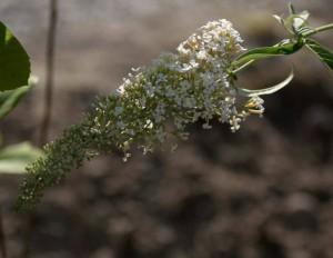 blomma5