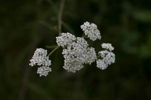 blomma6